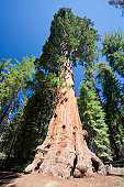 The General Grant Tree (Sequoiadendron giganteum) known as the Nation's Christmas Tree, the third largest tree in the world in Grant Grove, Kings Canyon National Park in East Central California, Sierra Nevada, California, United States of America