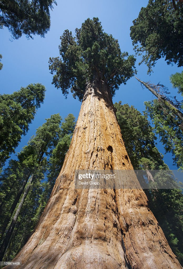The General Sherman Tree, the largest tree in the world in Sequoia National Park in East Central California, Sierra Nevada, California, United States of America