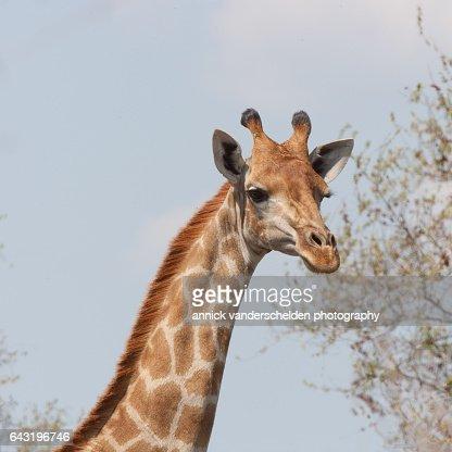 The giraffe (Giraffa).