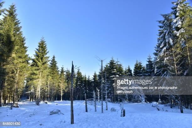 The glade in middle coniferous forest in winter