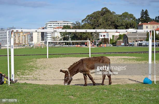 The goalkeeper donkey