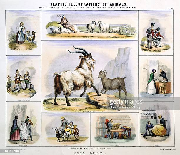 The Goat Used for milk cheese meat leather textiles gloves shoes draught Handcoloured lithograph by Waterhouse Hawkins creator of the prehistoric...