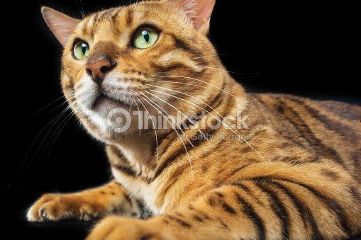The Gold Bengal Cat On Black Background Stock Photo Thinkstock