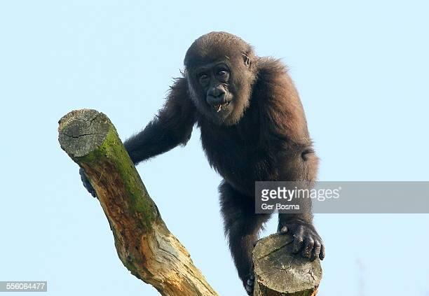 The Gorilla Surveyor