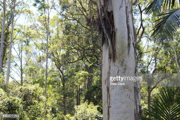 The Grandis, tallest tree in NSW