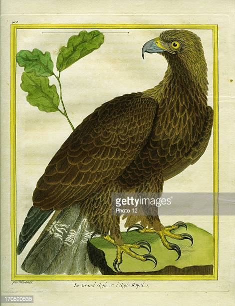 The Great Eagle or the Golden Eagle Aquila chrysaetosThe Great Eagle or the Golden EagleGeorgesLouis Leclerc Comte of Buffon 'Natural History of...