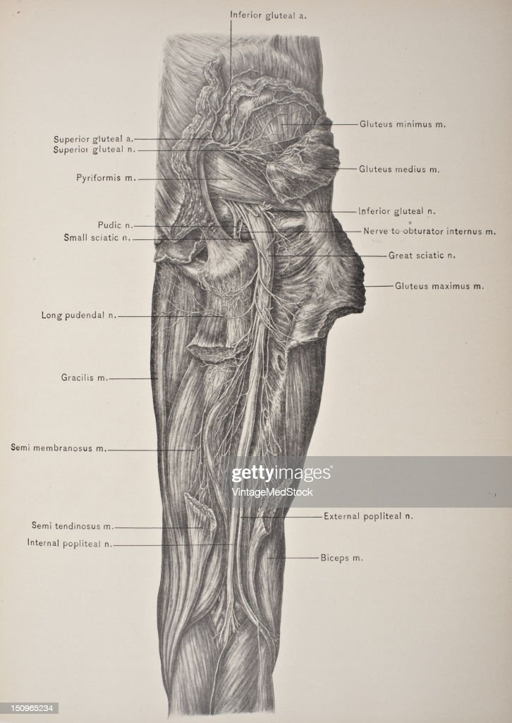 The great sciatic nerve is the largest in the body 1903 From 'Surgical Anatomy The Treatise of the Human Anatomy and Its Applications to the Practice...