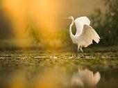 The Great White Egret (Ardea alba)