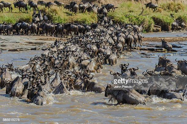 The great wildebeest migration river crossing