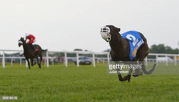 The greyhound Simply Fabulous beats the Fergus Sweeney ridden Tiny Tim in a 2 furlong race run at Kempton Racecourse on June 2 2004 in Kempton England