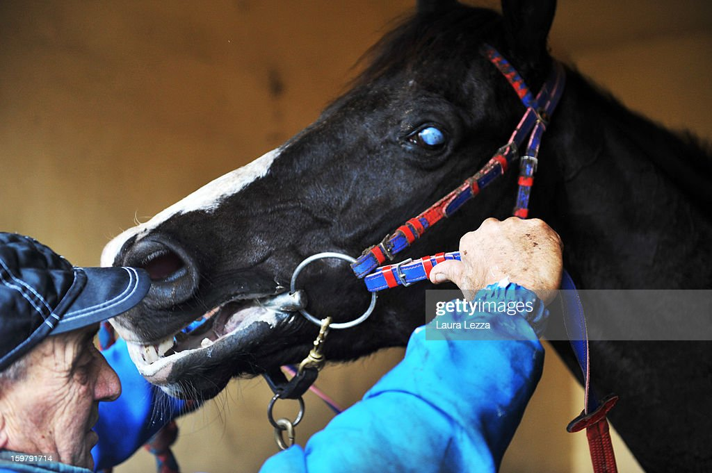 The groom put the bridle on his blind racehorse Laghat after the race at Ippodromo San Rossore on January 20, 2013 near Pisa, Italy. Laghat is a ten-year-old Italian racehorse who has won 21 races despite being blind, after being born with a mycosis fungal infection in both eyes. Laghat is trained and owned by jockey Federico De Paola in San Rossore near Pisa and has its own facebook page with many followers. Laghat finished fourth at today's Premio Demet.