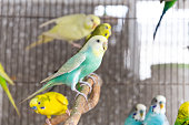 The Group of  Budgerigar in the cage