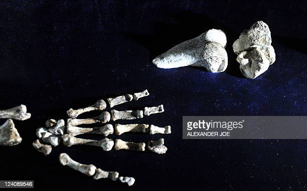 The hand of the 'Sediba Fossil' the remains of a hominin discovered by Professor Lee Berger an American who is a professor at South Africa's...