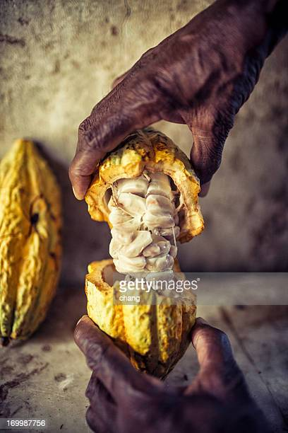 The hands of a dark skinned man hold up an open cocoa pod