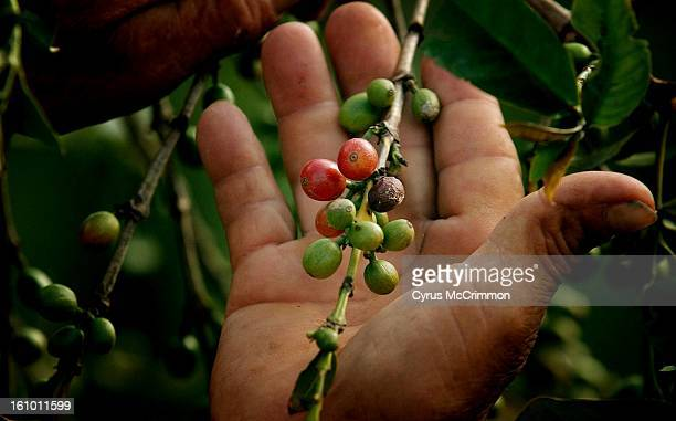 The hands of Santiago Rivera coffee grower and Starbucks brochure icon for fair trade coffee hold a branch containing coffee beans that were just...