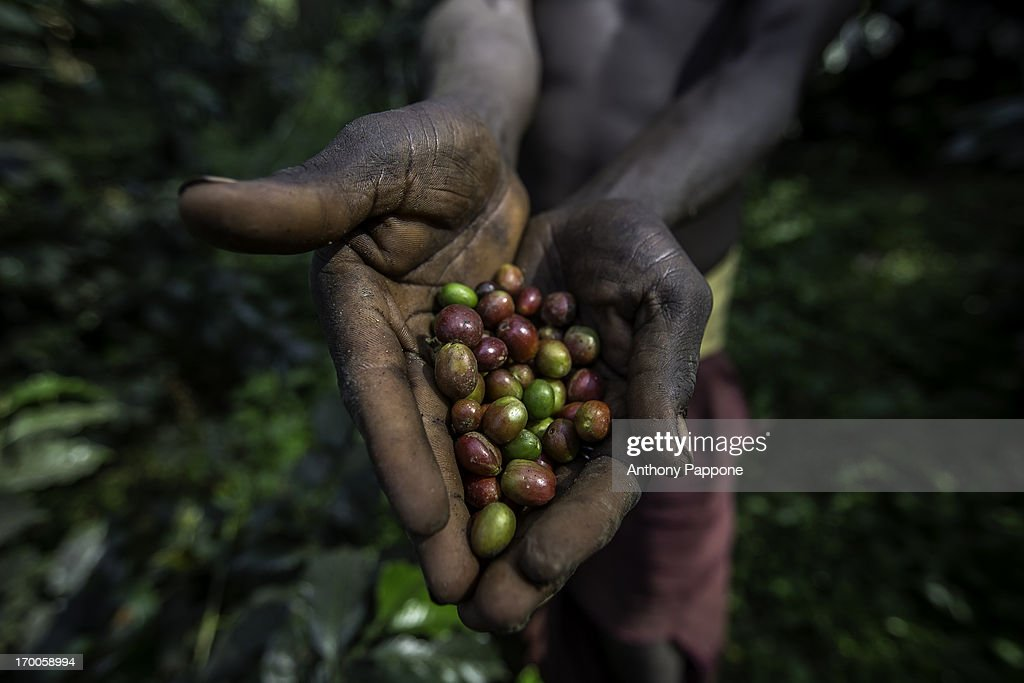 The hands that collect the coffee beans