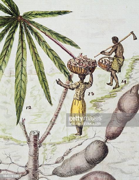 The harvesting of manioc or cassava root watercolour by Delahaye from Florindie ou histoire phisicoeconomique des vegetaux de la Torride 1789 Detail...