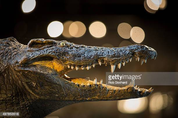 The head of a full crocodile estimated to sell for 25003000 GBP is displayed at Summers Place Auctions on November 19 2015 in Billingshurst England...