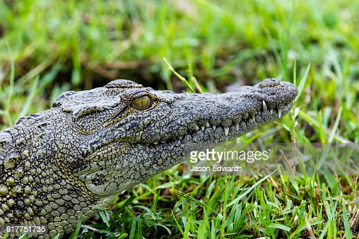 The head of a Nile Crocodile sun basking on a sand island.