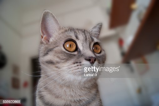 The head of cat with golden and gray color : Stock Photo