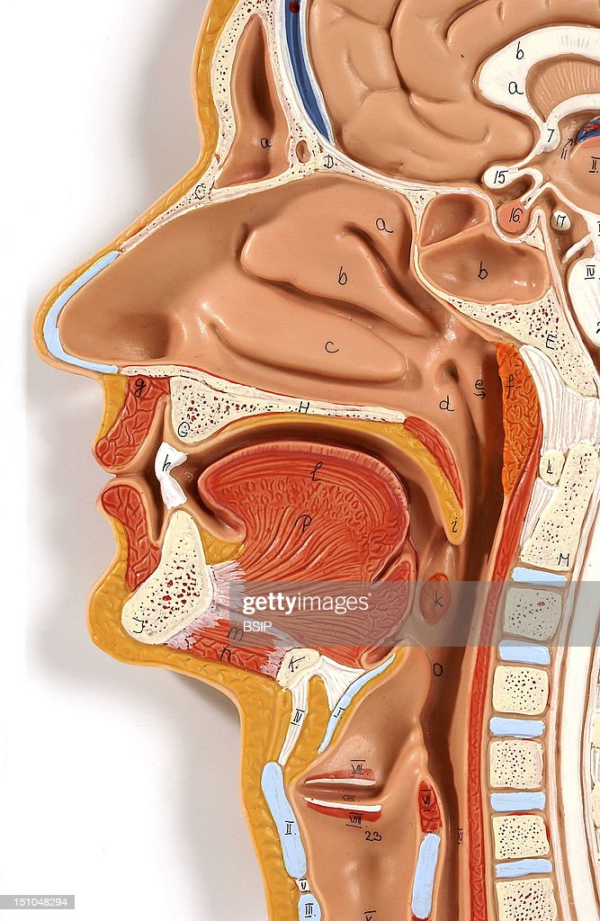 The Head Skeleton In Beige Includes The Skull Bones And The Facial Architecture For A Global View And Description Of The Head See Image No 1140405...