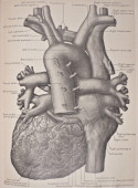 The heart is a myogenic muscular organ found in all animals with a circulatory system which pumps blood throughout the blood vessels by repeated...