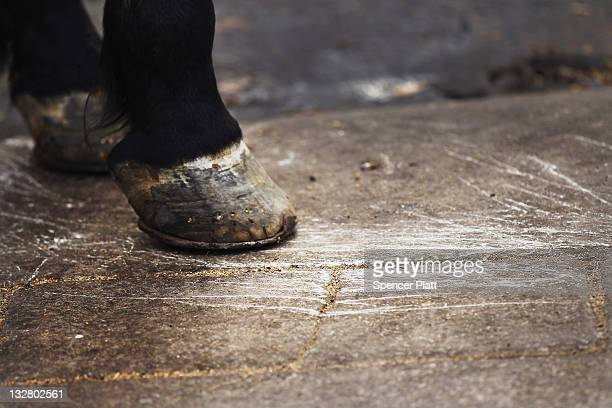 The hoof of a carriage horse is viewed as it scrathes the sidewalk at Central Park on November 14 2011 in New York City Following three serious...
