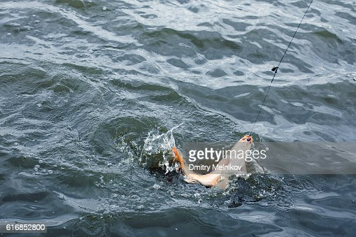 The hooked fish on a hook. : Stock Photo