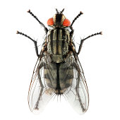 The House Fly (Musca domestica) dangerous carrier of pathogens,  such as those causing typhoid, cholera, salmonellosis, bacillary dysentery, tuberculosis, anthrax, ophthalmia, and parasitic worms.