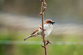 The house sparrow is a bird of the sparrow family Passeridae, found in most parts of the world.