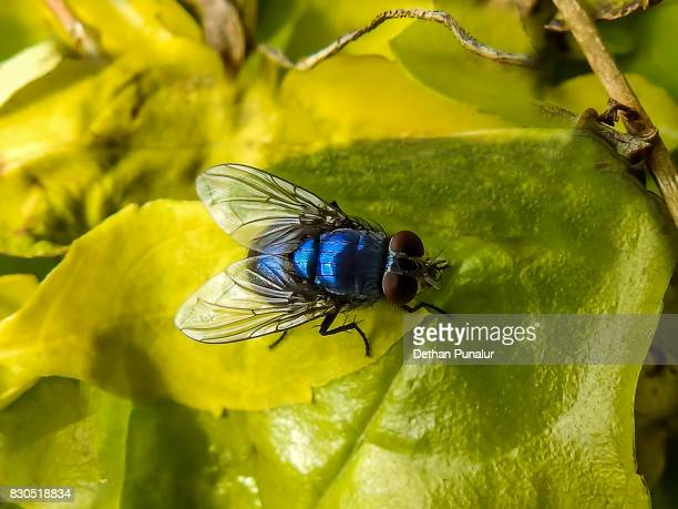 The housefly