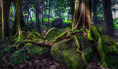 The huge buttress roots of a rainforest