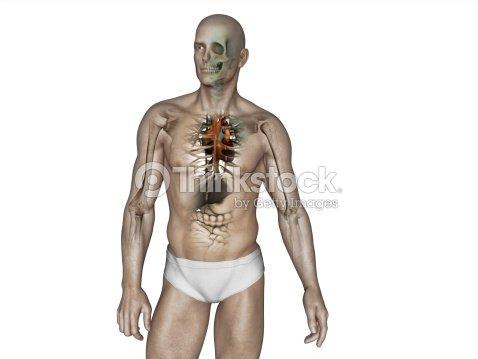 Menschliche Körper Anatomie Stock-Foto   Thinkstock