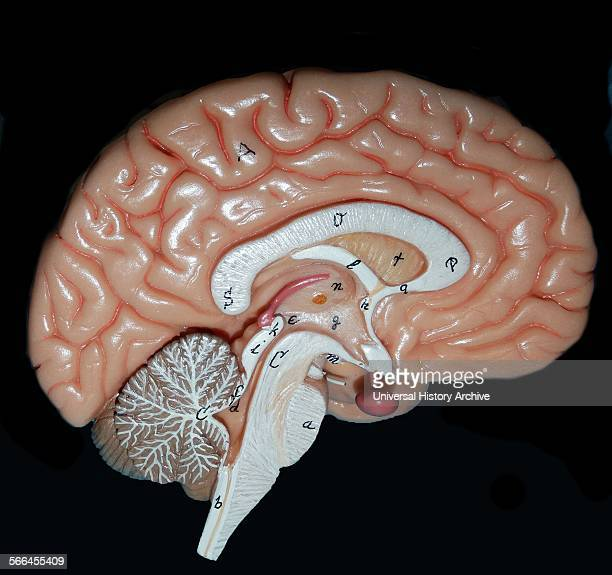 The human brain map Today we know that different areas of the brain have different roles Your senses for example each have their own areas 2014