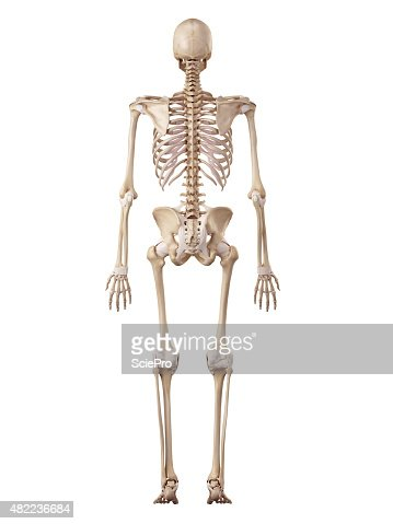the human skeleton and ligaments stock photo | thinkstock, Skeleton