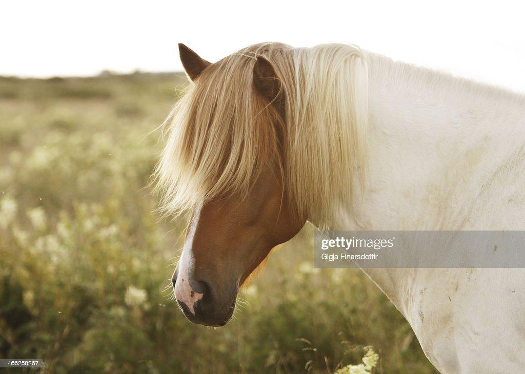 The Icelandic stallion : Stock Photo