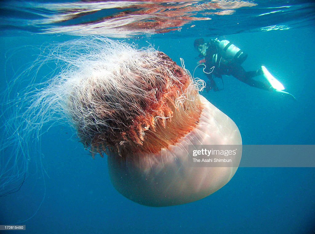 The image shows Nomura's Jellyfish in the Sea of Japan off the shore of Hokuriku region in the fall of 2002 in Echizen Fukui Japan The National...