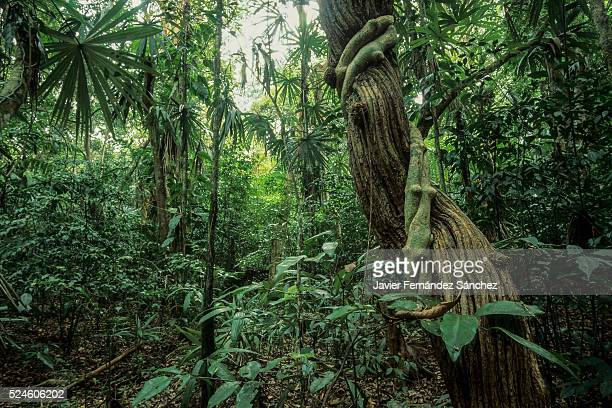 The impressive green interior rainforest biological reserve the cloud forest of Monteverde in CostaRica, with their trunks and lianas.