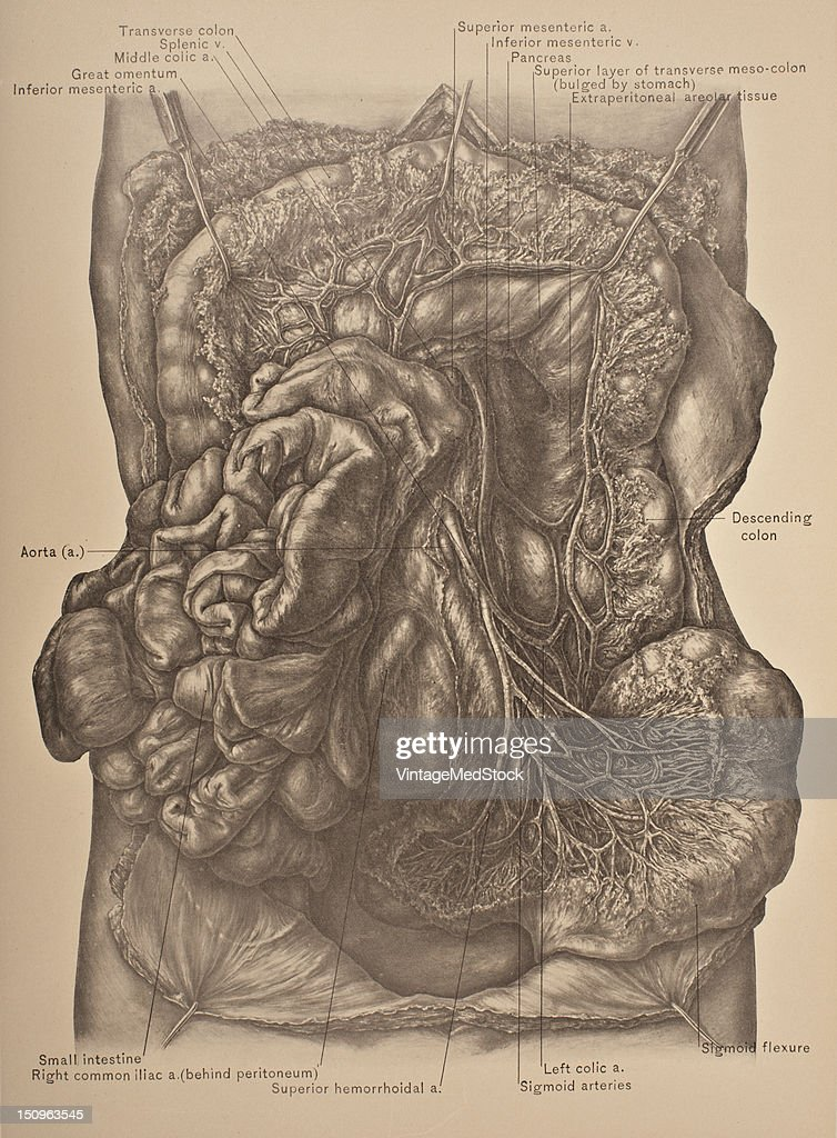 The inferior mesenteric vessel s a blood vessel that drains blood from the large intestine 1903 From 'Surgical Anatomy The Treatise of the Human...
