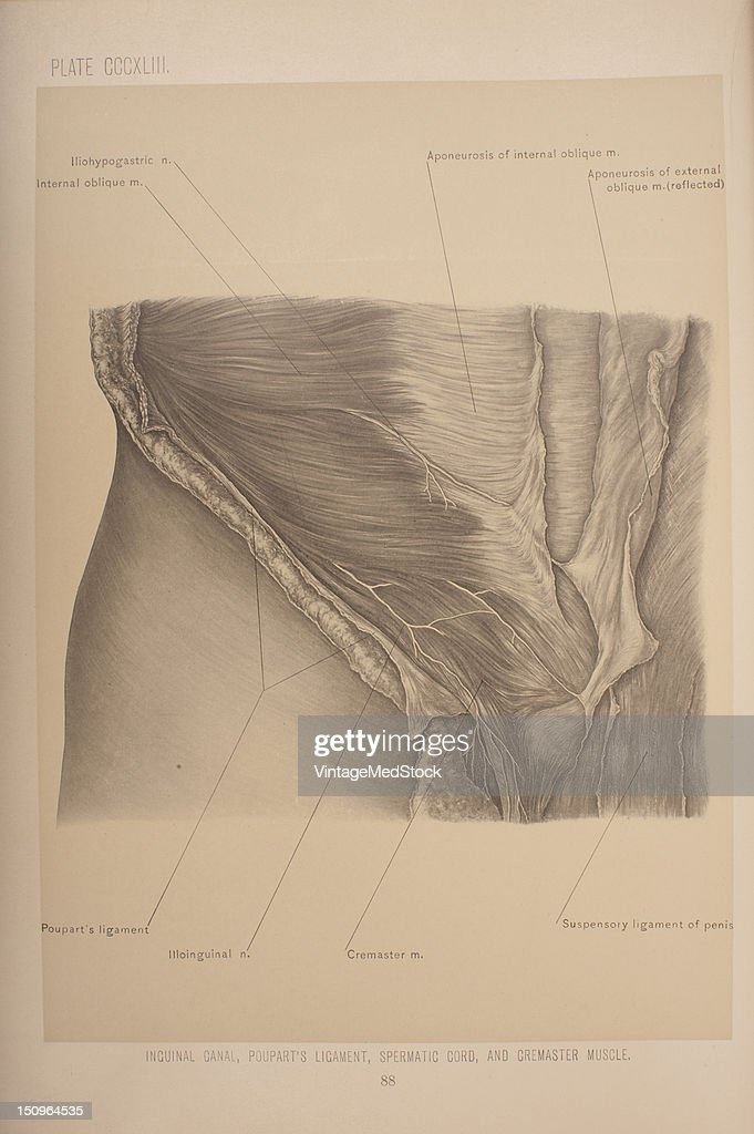 The inguinal canal is a space in the lower part of the abdominal wall immediately above and nearly parallel with the inner onehalf of Poupart's...