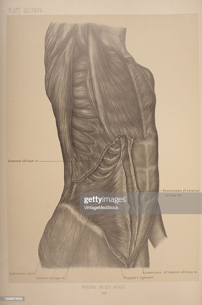 The internal oblique muscle is the intermediate muscle of the abdomen lying just underneath the external oblique and just above the transverse...
