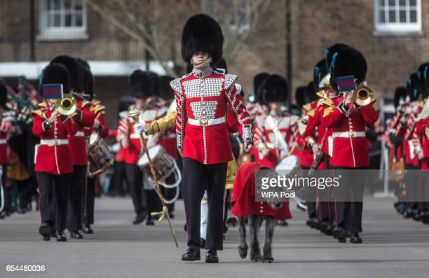 The Irish wolf hound Domnall mascot of the Irish Guards marches onto the parade square with soldiers of the 1st battalion Irish Guards during their...