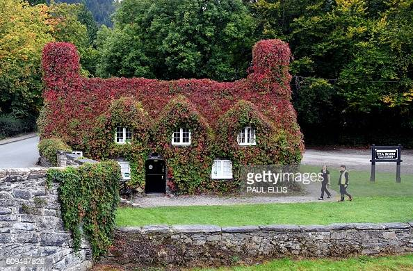 The ivy on the Tu Hwnt i'r Bont tea room in Llanrwst on the banks of the River Conwy in north Wales on September 21 2016 shows red colouring The ivy...