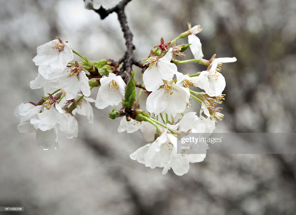 The Japanese cherry blossoms in spring : Stock Photo