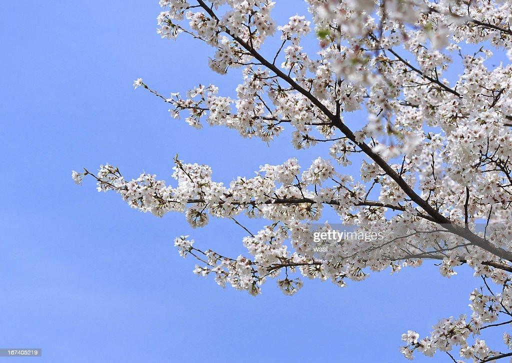 Japanische Kirsche Blüten im Frühling : Stock-Foto