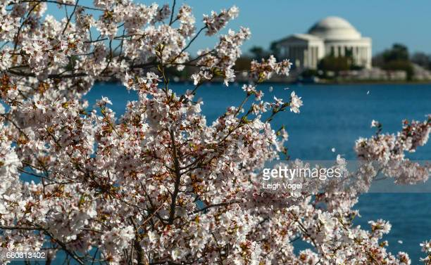 The Jefferson Memorial is seen through cherry blossoms in bloom on the tidal basin on March 29 2017 in Washington DC