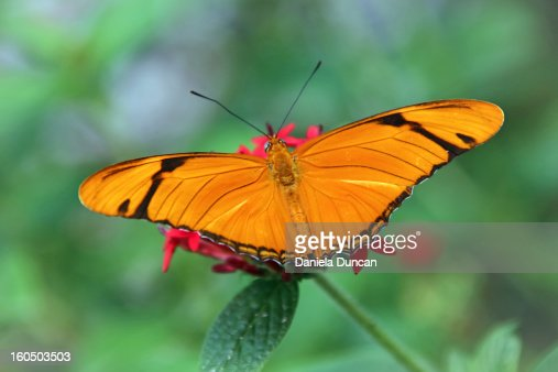 The Julia Butterfly : Stock Photo