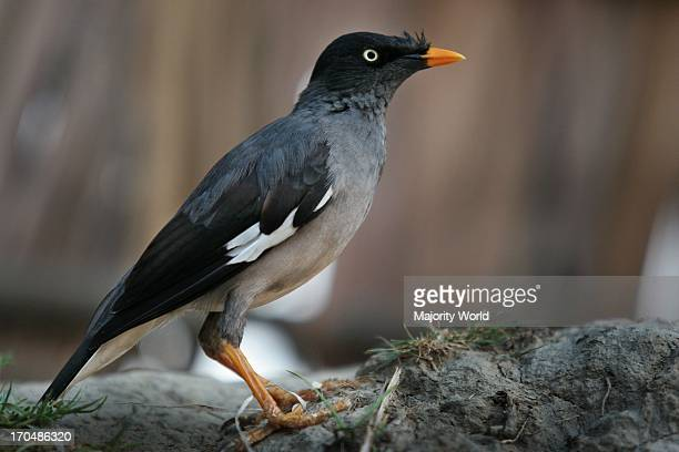 The Jungle Myna a common resident bird of Bangladesh in Mathbari Sundarbans People also pet them The bird is a member of the starling family...