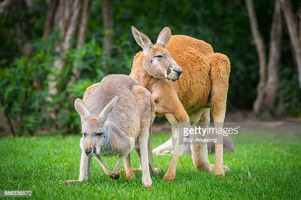 The Kangaroo in Philip island wildlife park.