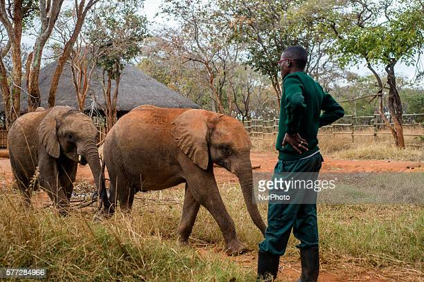 The keeper of the Elephant Orphanage Project and orphan baby elephants at the Lilayi Elephant Nursery in Lusaka Zambia on 18 July 2016 The Elephant...